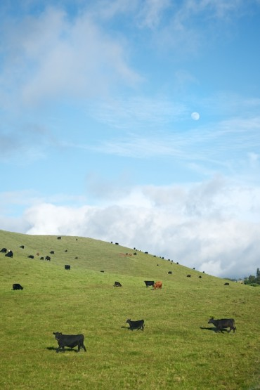 """Cows & The Moon"" from the series Natural Order, photographed by David Kimelman"