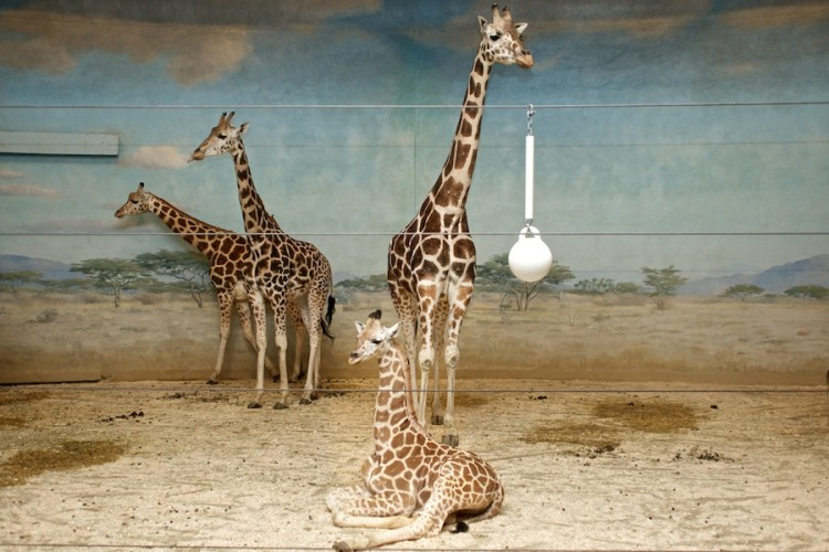 """Giraffes"" from the series Natural Order, photographed by David Kimelman"